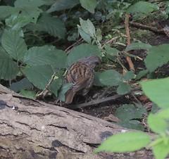 Dunnock - adult (Turtlerangler) Tags: dunnock bird cumbria leightonmoss uk