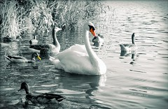 .beak. (C.Kalk DigitaLPhotoS) Tags: schwan swan gans goose ente duck mallard animal schnabel beak wasser water nature fauna vogel bird