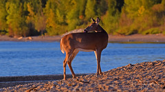 On the Beach (larry kapellusch) Tags: deer doe whitetail wildlife nature
