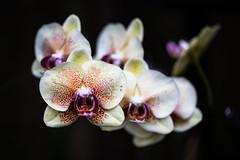 Phal @Longwood Garden (Ben-ah) Tags: phalaenopsis mothorchid moth orchid longwoodgarden garden pennsylvania flower conservatory butterfly