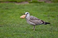 !!! (JOAO DE BARROS) Tags: barros joo food seagull animal bird