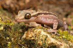 Cyrtodactylus quadrivirgatus [Taylor's Bow-fingered Gecko] (kkchome) Tags: herp herping herpetology reptile lizard gecko crytodactylus quadrivirgatus taylors bowfingered asia malaysia bukit fraser wildlife nature fauna
