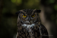 Tskili the Great Horned Owl (C-Brese) Tags: greathornedowl great horned owl angry grumpy cbrese bird