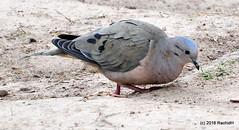 DSC_0411 (rachidH) Tags: birds oiseaux pigeon dove paloma colombe tourterelle eareddove zenaidaauriculata tourterelleoreillarde zenaida zenaidatorcazabe plazaitalia buenosaires argentina rachidh nature