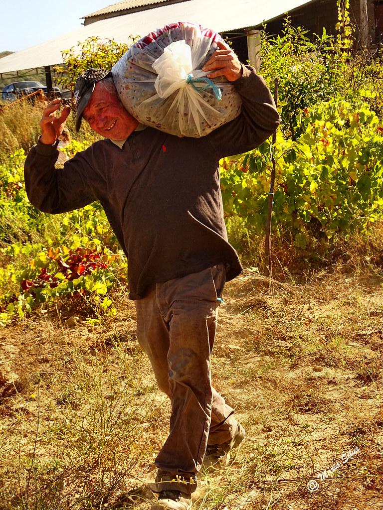 Águas Frias (Chaves) - ... vindimas 2016 ... carregando os sacos cheios de belas uvas ...