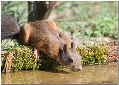 SCOIATTOLO ROSSO (ric.artur) Tags: animali scoiattolo bosco nikon naturalmente natura