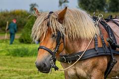 Anouk (BraCom (Bram)) Tags: anouk oogstdag harvestday horse paard portret portrait powerhorse trekpaard farmer boer harvest oogst landbouw agriculture tuig rig bracom zuidbeijerland tiengemeten zuidholland nederland southholland netherlands holland canoneos5dmkiii canon canonef70200mm bramvanbroekhoven nl