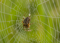 Eichblattspinne (Paulas Welt 73) Tags: spinne natur netz morgentau