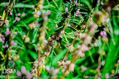 abelha (dsmvideosproduo) Tags: fotografo johnnatasdsm natureza flor mato passaro amanhecer por do sol cavalo pinha pelhado dente de leao abelha negra detalhes fio nuven subexposto sobreexposto verde fotografojohnatasdsm dsmfotografojohnatas johnatasmendona johnatasdsm dsmdsm dsmvideosproduo