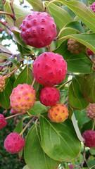Dogwood tree fruit (D70) Tags: burnaby bc canada dogwood tree fruit