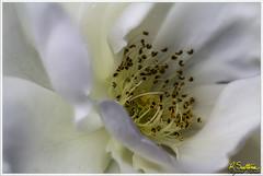 Whiterosestamanblend2.jpg (raysul) Tags: flower macro flowerphotography floralart closeup depthoffield decorative beautyinmacro rose