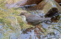 DSC1212  Dipper.. (jefflack Wildlife&Nature) Tags: dipper dippers birds avian wildlife wildbirds waterbirds waterways rivers riverbirds streams countryside nature coth5