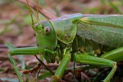 Grote Groene Sabelsprinkhaan / Great green bush-cricket / Tettigonia viridissima (M inspired by nature) Tags: grote groene sabelsprinkhaan great green bushcricket tettigonia viridissima