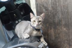 cat on a motorcycle (the foreign photographer - ) Tags: sep112016nikon gray cat collar motorcycle khlong bang bua bangkhen bangkok thailand nikon d3200