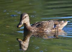 MRC_3748 (Obsies) Tags: patos gaviotas seagull lake laguna cangas morrazo ducks sigma300800 sigmonster nikon nikond500 zenelli naturaleza nature openair airelibre