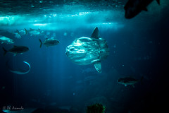 Moon Fish - Oceanario Lisbona (antoniosimula) Tags: oceanario lisbon lisbona lisboa portogallo portugal area expo fish flora fauna nikon d3200 35mm 70300 tamaron ocean species pacific atlantic indian