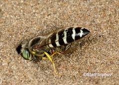 Bembix Sand Wasp with prey (Stoil Ivanov) Tags: sandwasp bembixsandwasppredator preyillinois beach state parkbembix illinois sand wasp