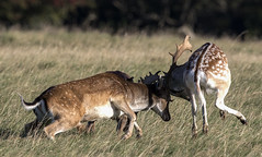 3H8A4058 (shay connolly) Tags: fallow deer dublin phoenix parl wildlife shay connolly