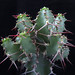 Euphorbia leontopoda, Mirsa Plateau, Somalia