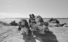 the three (patchattack) Tags: bassethound basset dog hound butters phoebe brinkley