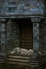 White tigers (sz1507) Tags: felines jardindumonde jardin bruxelles brugelette parc garden tigrebianca sleeping strisce gatti d60 nikond60 belgie belgio belgique parco pairidaiza felini cats bigcats animals animali bianco tigre tigri blueeyes stripes tigers tiger white