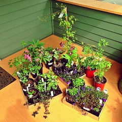 My next mission (liquidnight) Tags: cameraphone camera plants portland trillium spring gardening clematis fuchsia porch bleedingheart hellebore pdx laurelhurst formosa silverado frontporch planting bugle iphone speedwell shootingstar ajugareptans creepingthyme portlandnursery dodecatheonpulchellum hardyfuchsia creepingjenny wildthyme georgiablue lysimachianummularia moneywort iphone5 tiarellawherryi thymuspraecox veronicaumbrosa chocolatecreepingjenny iphoneography pinkchintzthyme instagram uploaded:by=flickrmobile flickriosapp:filter=nofilter pacificbleedingheartdicentra