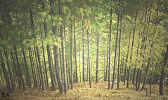 Adrenaline (Ebtesam Ahmed) Tags: trees pakistan wild green rain pine forest vintage asia east straight forests