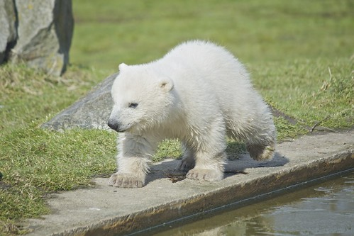 Baby polar bear by Missud, on Flickr