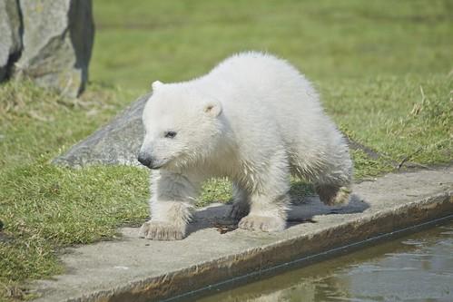 Baby polar bear by Missud, on Flickr