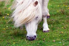 Il Cavallo Bianco di Napoleone (Wrinzo) Tags: uk horse white green island islands scotland europa europe napoleon cavallo shetland foula scozia isole napoleone cavallonano
