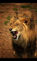 Having a Rip-roaring time at the Smithsonian National Zoological Park - Washington, DC (Sam Antonio Photography) Tags: park usa playing male nature animal yellow vertical mammal outdoors photography zoo golden washingtondc washington furry districtofcolumbia feline king day open emotion leo head af