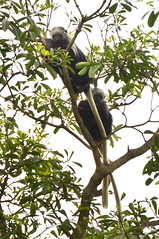 Another people of the trees (supersky77) Tags: africa forest monkey rainforest westafrica colobus floresta foresta guineabissau scimmia westernblackandwhitecolobus colobuspolykomos kingcolobus polycomos guinèbissau africaoccidentale cantanhez cantanheznationalpark jemberem