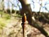 Bud... (Owen H R) Tags: tree spring woods orkney growth bud fprest owenhr