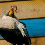 King Vulture WLD_6303 thumbnail