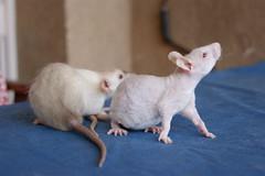 Oz & Charlott (Peter Wojkiewicz) Tags: rat dumbo rats fancy hairless hairlessrats hialress