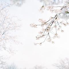sakura style (Mizulys*) Tags: pink flower film japan rolleiflex cherry photography blossom fresh sakura pure planar 28f 160ns mizulys