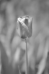 Tulip (marianboulogne) Tags: park flowers blackandwhite bw paris france flower macro nature fleur monochrome fleurs garden mono spring europa europe noiretblanc bokeh sony jardin tulip parc wiosna kwiat tulipan pary francja minoltabeercan minolta70210f4 macroflowerlovers