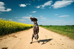 Just Hangin' (MilkaWay) Tags: birddog tessa fields dirtroad gsp countryroad canola rapeseed germanshorthairedpointer 4yearsold rapsfeld yellowfield bostwick morgancounty ruralgeorgia dogstanding