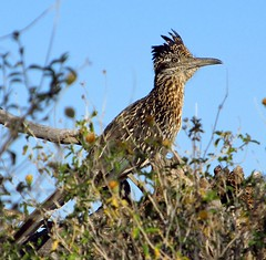 Lonesome roadrunner (jimsc) Tags: morning arizona bird animal fauna spring desert tucson wildlife lonely predator sonorandesert roadrunner crooner lonesome pimacounty canonsx130