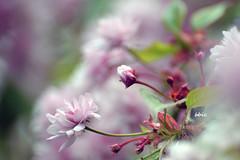 Spring (bbic) Tags: pink flowers nikon natura april japaneseplum bucharestbotanicalgarden