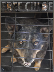 Chloe Behind Bars - Free Chloe (Immature Animals) Tags: old rescue baby brown animal happy bars husky fat coat chloe help elderly bark queensland behind heeler saltandpepper koalition pacc