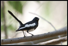 Philippine Magpie Robin (Gerald Yuvallos) Tags: bird nature robin birds canon philippines 300mm 7d cebu magpie 2x 28is istoryanet fafagraphy