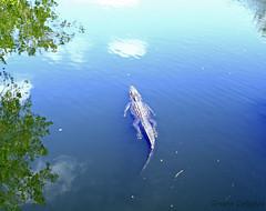 Everglades Alligator (Graeme Darbyshire) Tags: usa reflections florida alligator everglades graemedarbyshire gdarbyshire