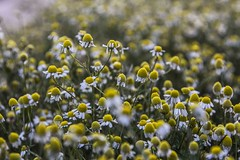 Camomile (greekadman) Tags: