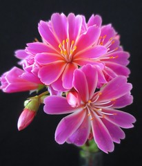 Lewisia on Black (Lissyanne (fighting pain daily)) Tags: pink flower nature garden blossom buds lewisia macrocloseup perfectpetals amazingdetails silveramazingdetails