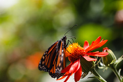 Monarch on Mexican Sunflower (Explore 04/30/13) (Bob Decker) Tags: