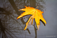 The Drowning Leaf (Pranav Bhasin) Tags: water yellow leaf kashmir muddy
