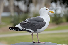 Western Gull, adult (little-W | Studying gulls) Tags: bird gull westerngull meeuw vogel larus occidentalis larusoccidentalis