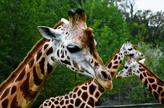 Giraffes - irafy (David Doua) Tags: tree zoo nikon prague praha giraffes giraffe irafa d7000 irafy photographyforrecreation