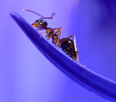 King of the Diasy's. (DigitalCanvas72) Tags: blue red plant macro nature bug nikon wildlife small insects bugs ants tinny nikond7000 nikon85mmmacrof35gedvr